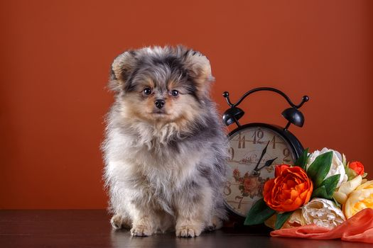 spitz, dog, flowers, alarm clock, clock