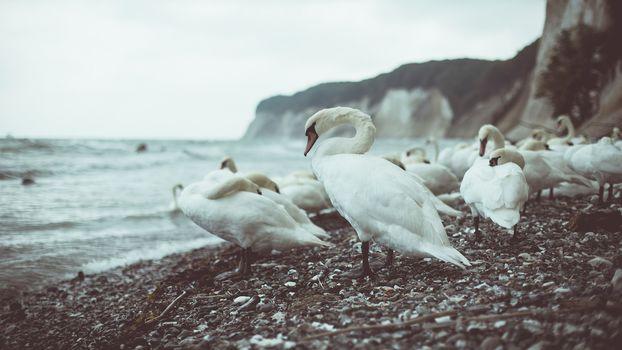 Дикие лебеди (16:9)
