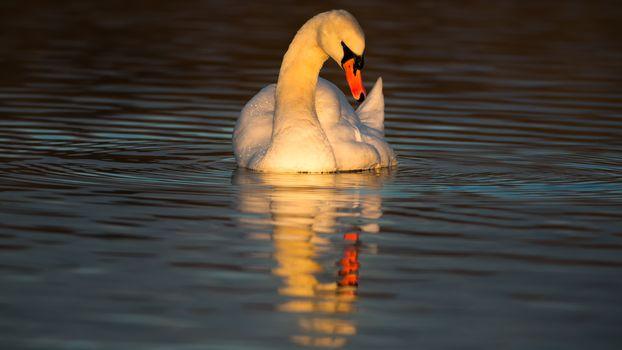 Белый лебедь на пруду (16:9, 30 шт)