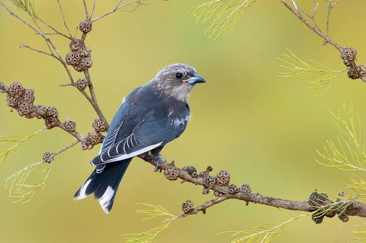 Dusky Woodswallow, Artamus cyanopterus, bird on branch