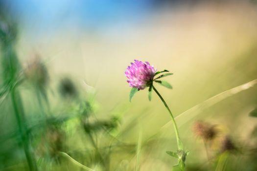 клевер, цветок, макрос