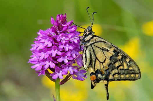 бабочка, цветок, макрос