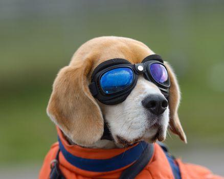 bigli, dog, dog, muzzle, spectacles