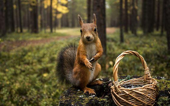 лес, белка, корзинка
