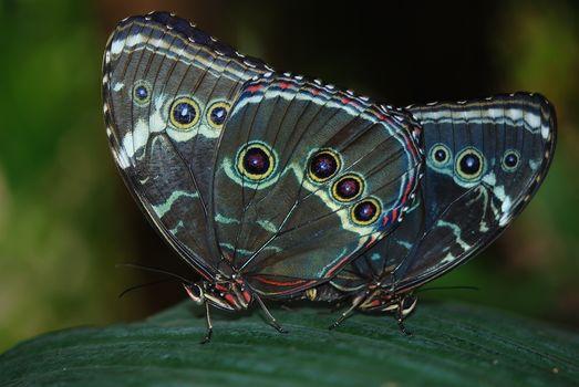 бабочки, морфо peleida, письмо, макросъемка