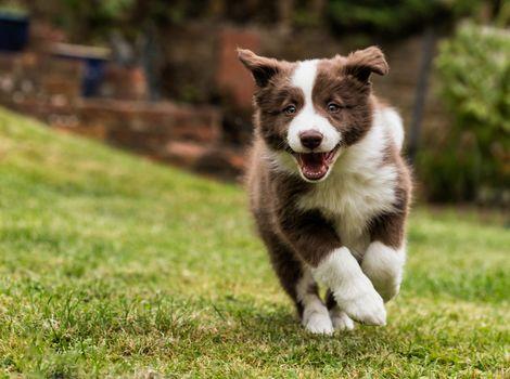 Border-Collie, dog, puppy, walk