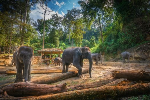 Elephant Camp, Maes Chiang Mai, Thailand