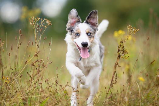 Border-Collie, dog, puppy, grass, walk