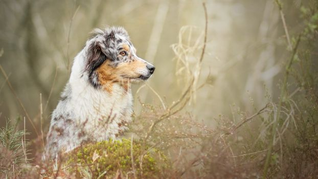 dog, Aussi, muzzle, nature, forest
