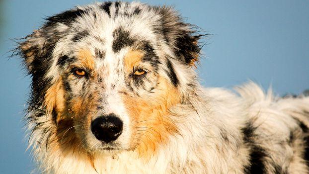 dog, Aussi, muzzle, portrait