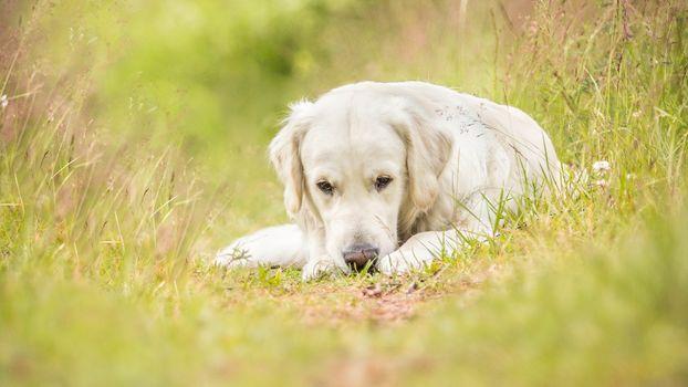 dog, muzzle, nature, Labrador, meadow, grass