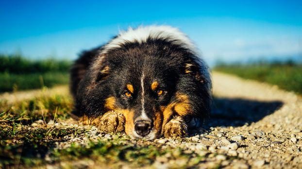 dog, muzzle, nature, road, portrait