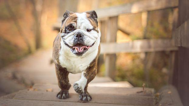 dog, muzzle, bulldog, language, steps
