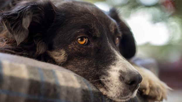 dog, muzzle, plaid, hips, portrait