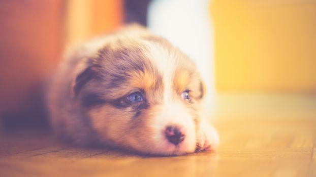dog, Aussi, muzzle, puppy