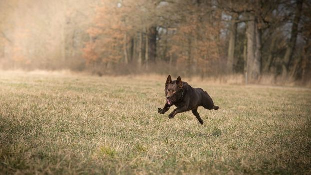 dog, nature, sweeps, forest, field, grass, autumn