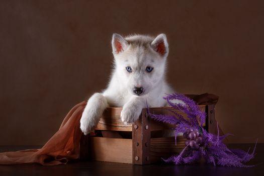 Siberian husky, Huskies, dog, puppy, box, decoration