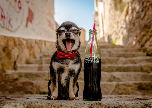 Chihuahua, dog, sobachonka, pjosik, joy, language, Coke, bottle, butterfly, stairs, stairs