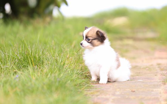 King Charles Spaniel, Papylon, dog, puppy, kid, grass, hips