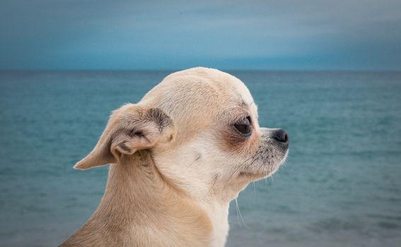 Chihuahua, dog, sobachonka, pjosik, muzzle, profile, sea, portrait