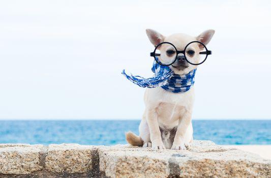 Chihuahua, dog, sobachonka, pjosik, spectacles, scarf