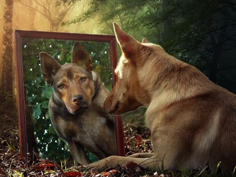 mirror, reflection, Australian Kelpie, dog