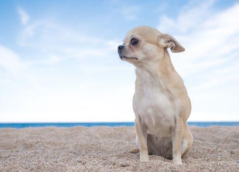 Chihuahua, dog, sobachonka, pjosik, sand, sky