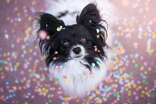 Chihuahua, dog, pjosik, muzzle, sight
