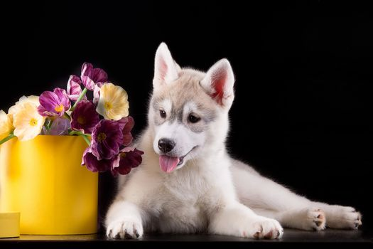 dog, puppy, Huskies, flowers, box, Black background