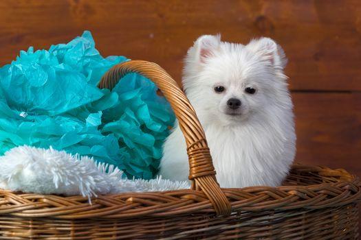 dog, puppy, spitz, basket, paper