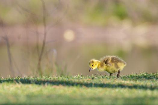 Canada Goose, duckling, ptenets, kid