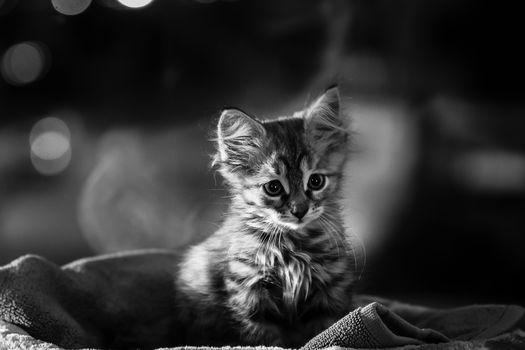 котёнок, малыш, монохром, черно-белая
