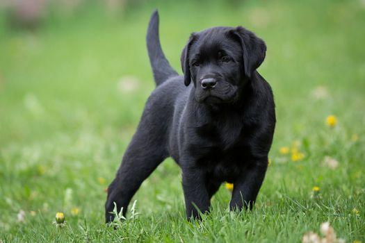 Labrador retriever, dog, puppy