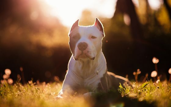 dog, meadow, grass, rays, hips, portrait