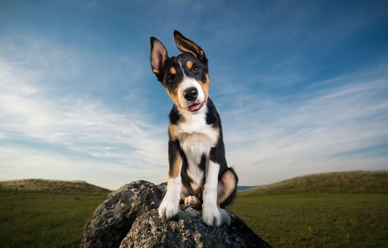 dog, field, stones, ears, sky, clouds, puppy