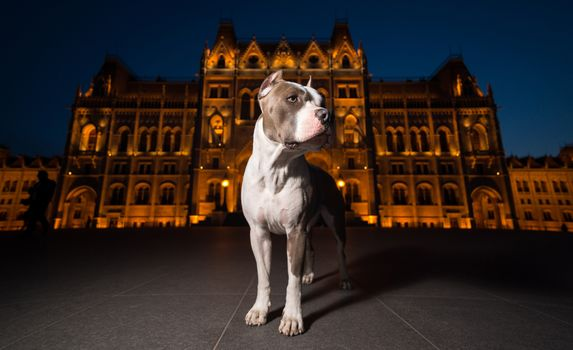 dog, night, city, building, architecture, tile, lights, foreshortening
