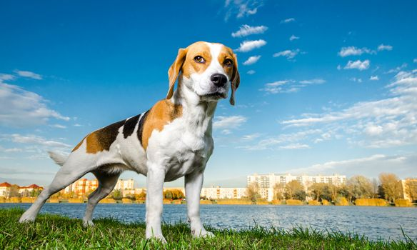 dog, bigli, sky, clouds, city, water, grass, Coast, foreshortening
