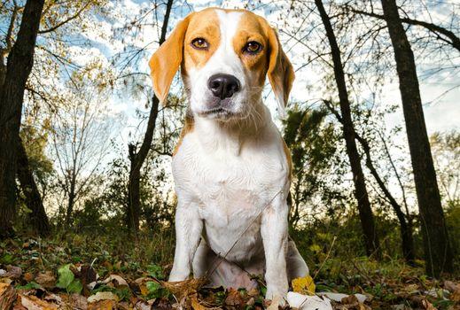 dog, park, forest, autumn, bigli, muzzle, portrait, leaves, trees, trunks