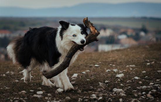 Собаки-всё-таскаки