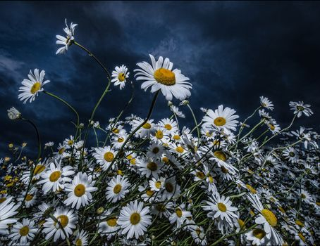 field, clouds, flowers, chamomile, flora