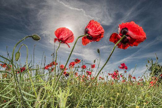 поле, цветы, маки, флора