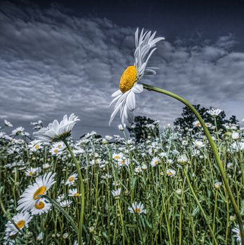 sunset, field, flowers, chamomile, flora