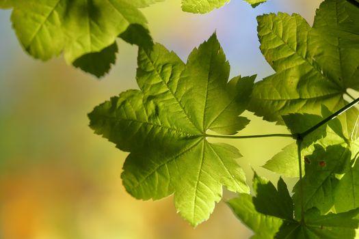 листья, свет, природа, макрос