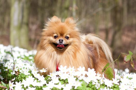 Pomeranskiy Spitz, spitz, dog, pjosik, flowers, vetrenica dubravnaâ