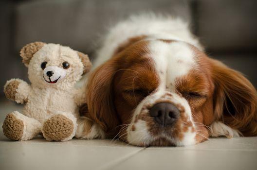 Cavalier King Charles Spaniel, dog, sleeping, sleep, teddy bear, teddy-bear, a toy