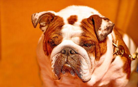 English bulldog, bulldog, dog, muzzle, background