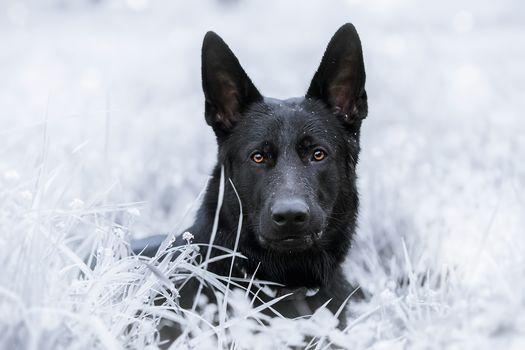 German Shepherd, shepherdess, dog, muzzle, sight, grass
