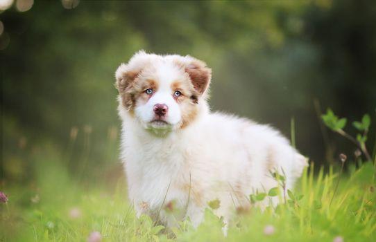 Australian Shepherd, Aussi, dog, puppy