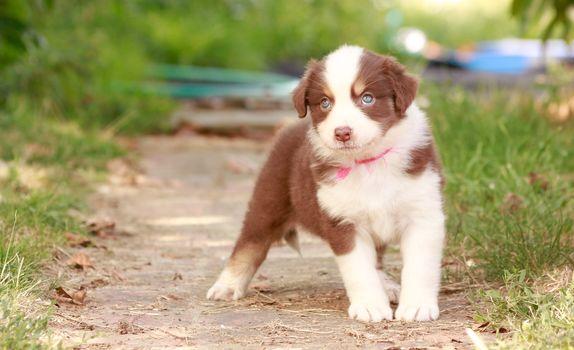 dog, puppy, hips
