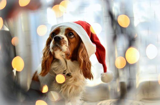 Cavalier King Charles Spaniel, dog, cap, glare